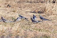 Cockatiels, near Karumba, Queensland, Australia