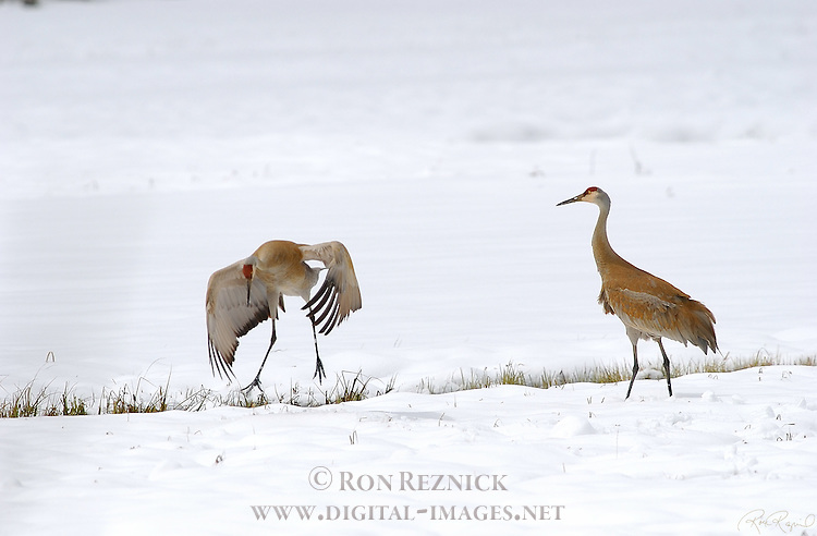 Sandhill Cranes Mating Dance Yellowstone National Park