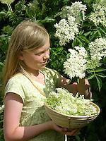 Mädchen, Kind erntet Holunder-Blüten, Holunderblütenernte, Schwarzer Holunder, Sambucus nigra, Fliederbeeren, Fliederbeere, Common Elder, Elderberry, Sureau commun, Sureau noir