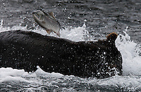 A fish jumps over a hungry bear that is feeding in Kurilskoe Lake Preserve, a world heritage site