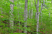 Hardwood Forest in the area of the Haskell Brook drainage in Albany, New Hampshire during the summer months. Maple and beech are the dominate trees.