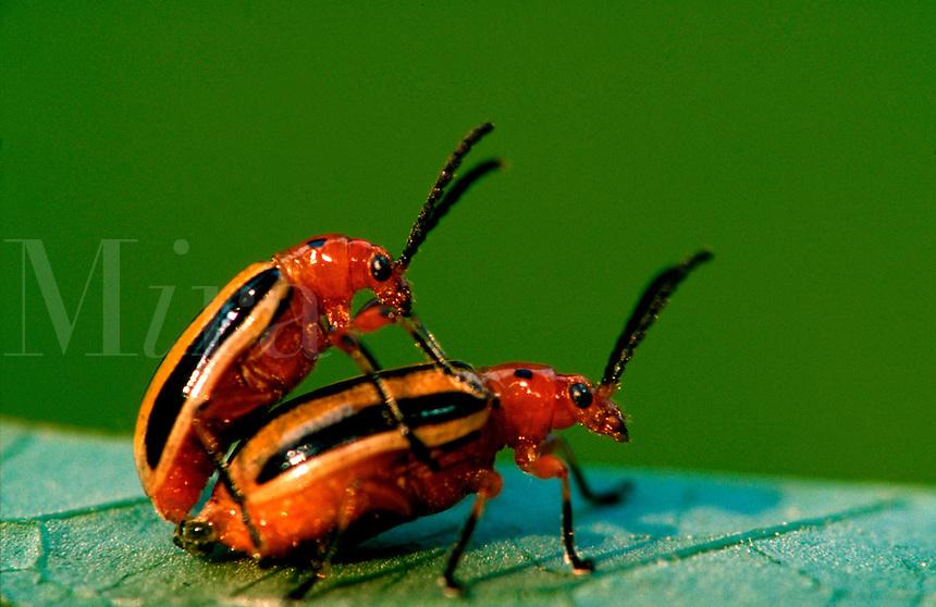 Close up of two potato bug beetles mating.