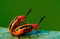 Close up of two potato bug beetles mating.