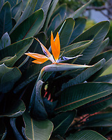 Bird of Paradise, Tropical Flowers, Hawaii, USA.