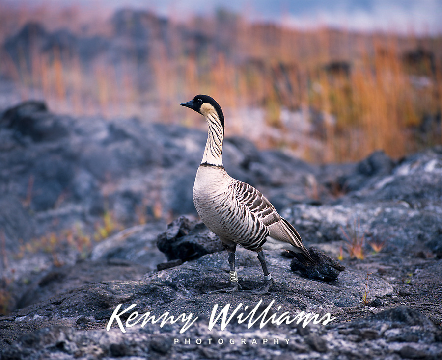 Nene Hawaiian Goose, Volcanoes National Park, Big Island, Hawaii, USA.