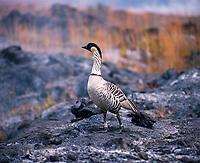 Nene Hawaiian Goose, Volcanoes National Park, Big Island, Hawaii, USA.