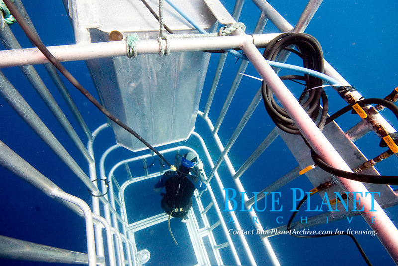 Diver in a cage whilst diving with great white sharks at Isla Guadalope, Mexico