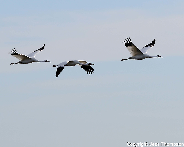 Whooping Cranes, near Goose Island State Park, Texas