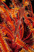 robust ghost pipefish or rough-snout ghostpipefish, Solenostomus cyanopterus, hiding in crinoid, or feather star, Tulamben Bay, Bali, Indonesia