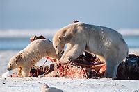 polar bears, mother and cub, Ursus maritimus, feeding on carcass of bowhead whale, Balaena mysticetus, Arctic National Wildlife Refuge, Alaska, polar bear, Ursus maritimus