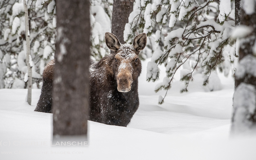 Belly Deep.  The snow keeps piling up around here and the local moose are working hard to maintain weight and calorie intake by browsing lower nutritional value foods like the soft bark from deciduous trees.  Like bison, moose are among the toughest animals in North America and thrive in colder climates.  Yet deep winter snows make it more challenging for them to move around in order to locate food sources and they will sometimes utilize roads and packed trials.  <br /> <br /> A friendly reminder to please be careful out there while driving in moose country, especially at night, as moose are nearly imperceptible along roadways in darkness.
