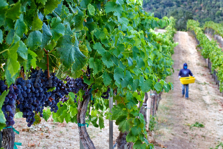 MUSCAT GRAPES ripen on the vine at JOULLIAN VINEYARDS - CARMEL VALLEY, CALIFORNIA