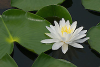 Fragrant White Water Lily (Nymphaea odorata) growing in pond, Ohio. Native North American wildflower.