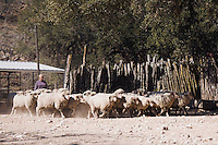 Domestic Sheep, Sheep shearing, herding sheep, Hill Country, Texas, USA, April 2007