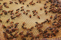 Bees on a comb.