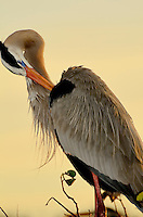 A great Blue Heron against a vanilla sunrise