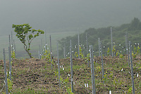 Denis Dubourdieu visits an experimental vineyard of Koshu grapes  in Yamanashi Prefecture, mount Fuji area, Japan.  Monsiour Dubourdieu is developing a new Japanese wine designed to be drank with Japanese cuisine.