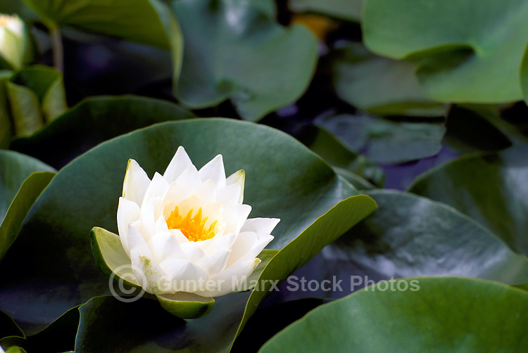 White Water Lily (Nymphaeaceae) blooming on Lily Pad - Close up