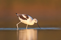 American Avocet (Recurvirostra americana) searching for food as sunset approaches, East Pond, Jamaica Bay Wildlife Refuge