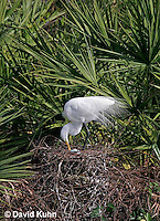 0310-0830  Great Egret Tending Eggs in Nest, Displaying Breeding Plumage, Ardea alba © David Kuhn/Dwight Kuhn Photography
