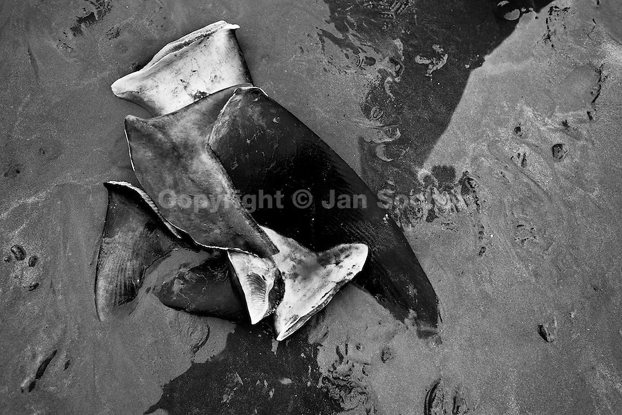 Cut shark fins seen on the beach of Puerto Lopez, Ecuador, 6 April 2012. Every morning, hundreds of shark bodies and thousands of shark fins are sold on the Pacific coast of Ecuador. Although the targeted shark fishing remains illegal, the presidential decree allows free trade of shark fins from accidental by-catch. However, most of the shark species fished in Ecuadorean waters are considered as ?vulnerable to extinction? by the World Conservation Union (IUCN). Although fishing sharks barely sustain the livelihoods of many poor fishermen on Ecuadorean at the end of the shark fins business chain in Hong Kong they are sold as the most expensive seafood item in the world. The shark fins are primarily exported to China where the shark's fin soup is believed to boost sexual potency and increase vitality. Rapid economic growth across Asia in recent years has dramatically increased demand for the shark fins and has put many shark species populations on the road to extinction.