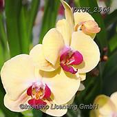 Gisela, FLOWERS, BLUMEN, FLORES, photos+++++,DTGK2564,#f#, EVERYDAY ,orchids