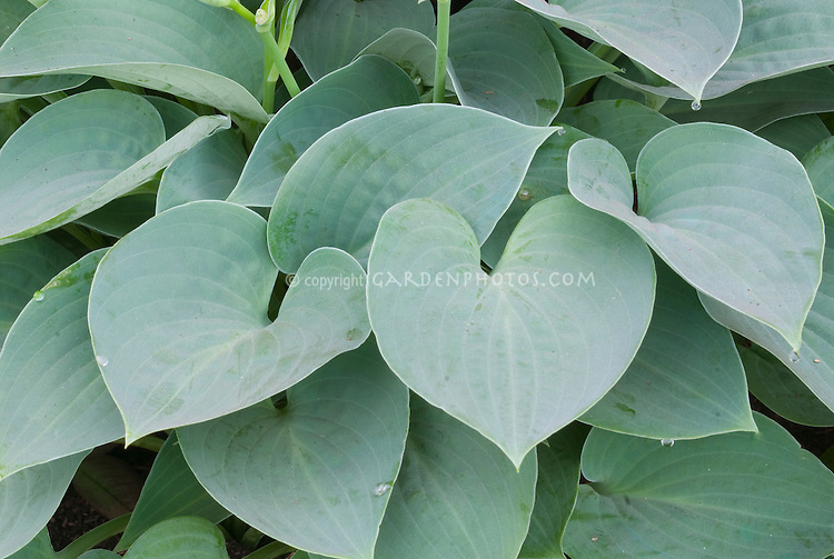 Hosta 'Blue Moon' (Tardiana Group), heart-shaped blue leaves perennial