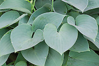 Hosta 'Blue Moon' (Tardiana Group), heart-shaped blue leaves perennial