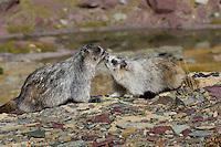Hoary Marmots (Marmota caligata) greeting behavior.  Glacier National Park, Montana.  Fall.