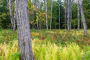 Quaking Aspen - (Populus tremuloides) - stand during the autumn months surrounded by ferns in Livermore, New Hampshire USA