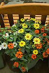 'PROFUSION MIX' ZINNIA IN POT