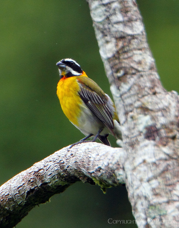 Male stripe-headed tanager