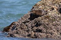marine otter, chungungo, Lontra felina, Chiloe Island, Chile, resting