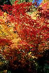 Gold and red foliage in the Washington Park Arboretum, Seattle, Washington.