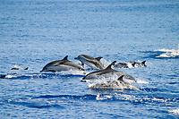 striped dolphins, Stenella coeruleoalba, Azores Islands, Portugal, North Atlantic Ocean