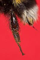 Erdhummel, Hummel, Hinterbein, Sammelbein zum Sammeln von Pollen mit Körbchen, Blütenstaub wird in so genannten Körbchen gesammelt, das ist eine Vertiefung an der Außenseite der Tibia mit langen Haaren an den Rändern, Arbeiterin, Bombus terrestris oder Bombus lucorum