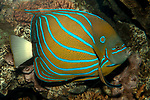 Blue-striped angelfish swimming right.