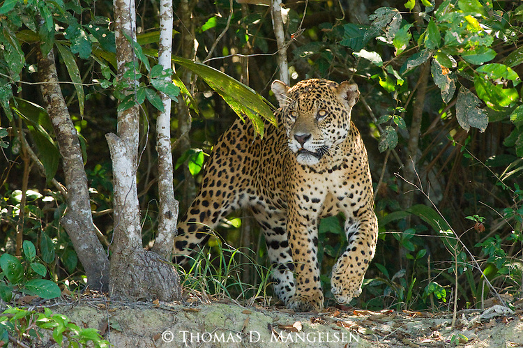 A jaguar walks out of the jungle along the Cuiaba River in the Pantanal of Brazil.