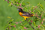 Male Baltimore oriole perched in a choke cherry tree.
