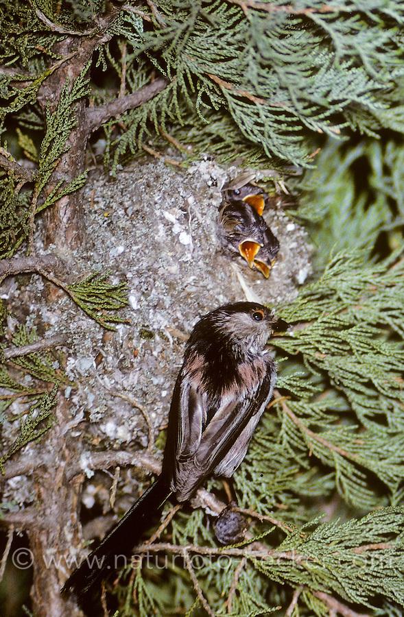 Schwanzmeise, Schwanz-Meise, Meise, Altvogel am kugelförmigen Nest, Aegithalos caudatus, long-tailed tit