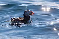 Papageitaucher, Papageientaucher, schwimmend, Papagei-Taucher, Fratercula arctica, Atlantic puffin, Vogelfels, Vogelfelsen