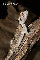 1R15-527z  Bearded Dragon, Popona vitticeps, Amphibolorus vitticeps