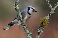 Texas Blue Jay perched on lichen covered branches.