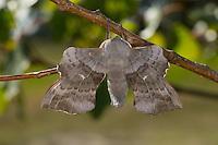 Pappelschwärmer, Männchen, Pappel-Schwärmer, Laothoe populi, Sphinx populi, Poplar Hawk-moth, Poplar Hawkmoth, male, Schwärmer, Sphingidae, Hawkmoths, hawk moths, sphinx moths