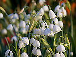 Spring Snowflake, Leucojum vernum