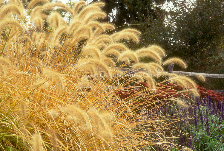 Pennisetum alopecuroides in autumn fall color bloom