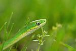 Rough Green Snake in my yard