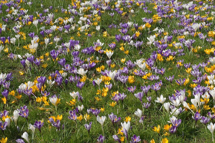 Crocus naturalized in lawn in many colors in spring bloom