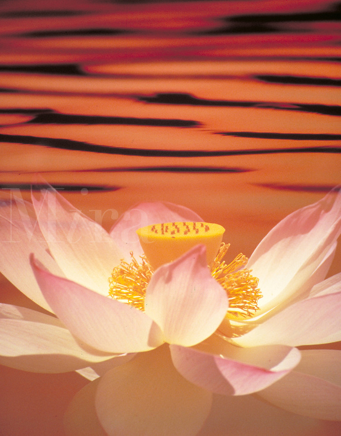A LOTUS FLOWER ON WATER; CLOSE UP VIEW, SUNSET OVER HORIZON. FLOWERING PLANTS. PHOTO MONTAGE, SPECIAL EFFECTS.