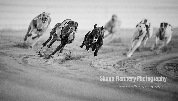 Pix: Shaun Flannery/shaunflanneryphotography.com<br /> <br /> COPYRIGHT PICTURE>>SHAUN FLANNERY>01302-570814>>07778315553>><br /> <br /> July 1990<br /> Greyhound Racing<br /> Askern Greyhound Stadium